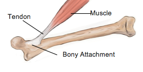 10 Facts About Tendons - Physio Direct NZ